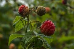 De söta mogna frukterna och bären Arkivfoto