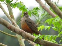 ¡De Sabià - Laranjeira - rufiventris del Turdus - pájaro Fotografía de archivo