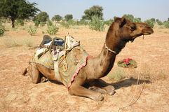 De safari van de kameel in de woestijn van Thar, Rajastan, India Stock Foto