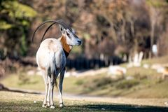 De Sahara oryx stock afbeeldingen