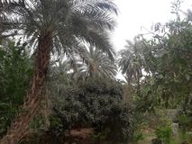 De Sahara palmes Royalty-vrije Stock Fotografie