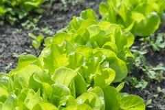 De saladeinstallatie van de Butterheadsla, hydroponic plantaardige bladeren verse groene salade in grond en potten, verse groene  stock afbeeldingen