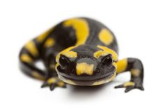 De salamander van de brand, salamandra Salamandra stock foto's