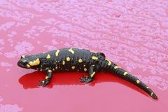 De salamander van de brand Royalty-vrije Stock Fotografie