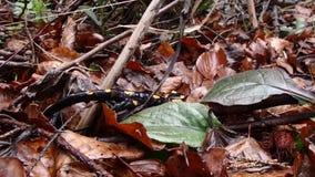 De salamander van de brand stock video