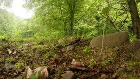 De salamanderzomer in de bergbossen van de Karpaten stock videobeelden