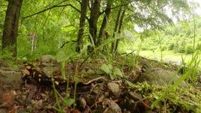 De salamanderzomer in de bergbossen van de Karpaten stock footage