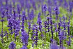 De Salie van Clary (sclarea Salvia) Stock Foto's