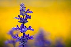De Salie van Clary (sclarea Salvia) Stock Afbeeldingen