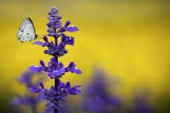 De Salie van Clary (sclarea Salvia) met vlinder Royalty-vrije Stock Afbeeldingen