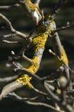 De samenstelling van de takkenboom met geel korstmos royalty-vrije stock foto