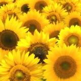 De samenstelling van de zonnebloem Royalty-vrije Stock Afbeeldingen