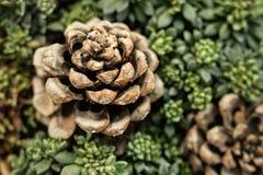 De samenstelling van succulents en pijnboompinecone, close-up, vertroebelde achtergrond royalty-vrije stock foto