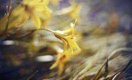 De samenvatting defocused achtergrond met lutea van bloemgagea of Gele Kerstster Royalty-vrije Stock Afbeeldingen