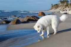 De Samoyedhond loopt dichtbij het overzees Royalty-vrije Stock Foto's