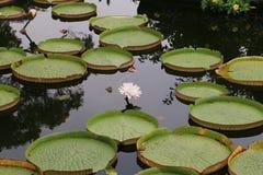 De Santa Cruz flor y hojas waterlily Fotos de archivo libres de regalías