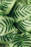 De sappige achtergrond van contrast groene bladeren Stock Afbeeldingen