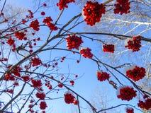 de sappige rijpe bossen van lijsterbessenbessen hangen op bestrooide takken, Royalty-vrije Stock Afbeeldingen