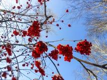 de sappige rijpe bossen van lijsterbessenbessen hangen op bestrooide takken, Stock Foto