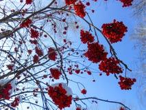de sappige rijpe bossen van lijsterbessenbessen hangen op bestrooide takken, Royalty-vrije Stock Afbeelding