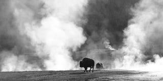 De Sauna van buffels Stock Afbeeldingen
