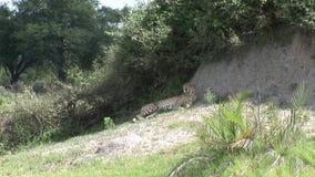 De savanne wild dierlijk zoogdier van jachtluipaardbotswana Afrika stock video