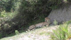 De savanne wild dierlijk zoogdier van jachtluipaardbotswana Afrika stock footage