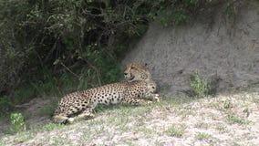 De savanne wild dierlijk zoogdier van jachtluipaardbotswana Afrika stock videobeelden