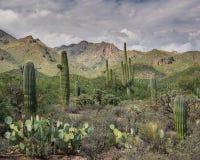 De Scène van de Sonoranwoestijn Stock Afbeeldingen