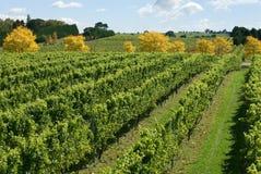 De Scène van de wijngaard Stock Foto's