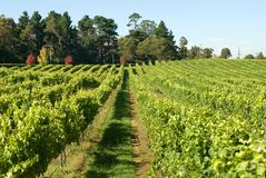 De Scène van de wijngaard stock afbeelding