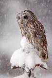 De scène van het de winterwild met uil Tawny Owl-sneeuw in sneeuwval tijdens de winter wordt behandeld die De scène van de acties stock afbeelding