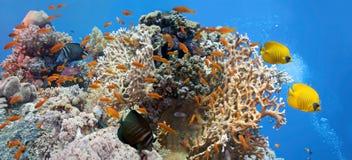 De scène van het koraal - panorama Stock Afbeeldingen