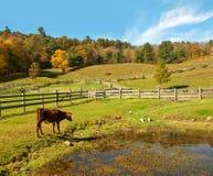 De scène van het land met koe het letten op eenden Royalty-vrije Stock Foto