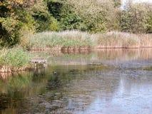 De scène van het de zomermeer met klein zwart koet zwemmend water Stock Foto's