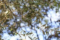De scène van de nacht Olijven op olijfboomtak Stock Foto