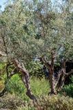 De scène van de nacht Olijven op olijfboomtak Royalty-vrije Stock Afbeelding
