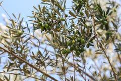 De scène van de nacht Olijven op olijfboomtak Royalty-vrije Stock Afbeeldingen