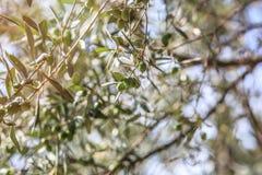 De scène van de nacht Olijven op olijfboomtak Stock Foto's