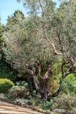 De scène van de nacht Olijven op olijfboomtak Stock Afbeeldingen