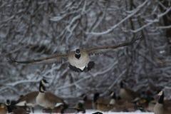 De Scène van de de wintergans royalty-vrije stock foto