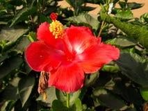 In de scène in de zonnenstraal alvorens mooie rode bloem te scheuren royalty-vrije stock afbeelding