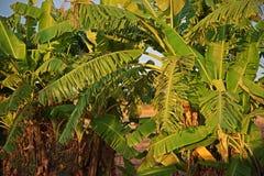 De schade van banaan` s bladeren van winderig royalty-vrije stock foto