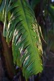 De schade van banaan` s bladeren van winderig stock fotografie