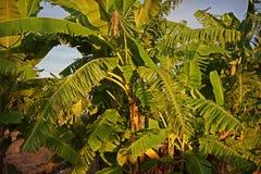 De schade van banaan` s bladeren van winderig royalty-vrije stock afbeelding