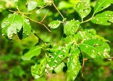 De schadelijke insecten van een tuin vernietigen bladeren Stock Foto's