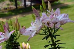 In de schaduw gestelde Lily Flowers Stock Afbeelding