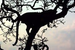 De schaduw van de luipaard Stock Foto's