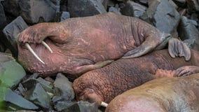 De schaduw van de walruszon Royalty-vrije Stock Afbeelding