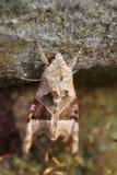 De schaduwen van de hoek (meticulosa Phlogophora) Stock Afbeelding